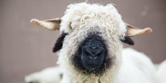 Unbekannte Täter haben in Scharnitz (Tirol) drei Schafe gestohlen.