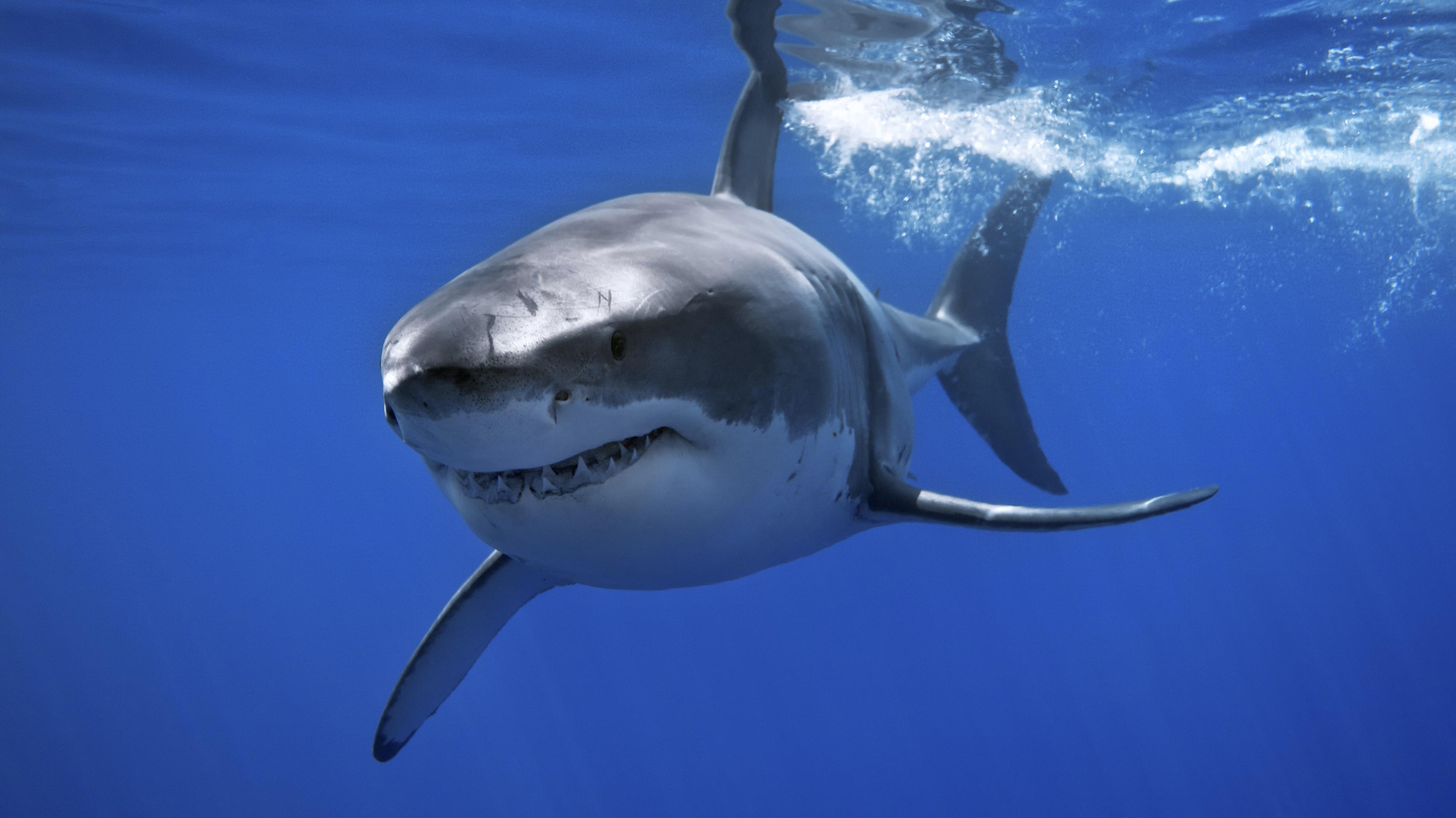 Weißer Hai tötet 10-Meter-Wal mit blutigem Trick