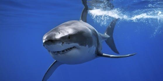 Haie gehören zu den faszinierendsten Tieren der Welt.Es sind über 500 verschiedene Arten bekannt.