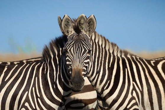 Diese zwei Zebras scheinen miteinander verschmelzen. Seit das Bild auf Twitter ist, wird heiß diskutiert.