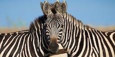 Erkennst du, welches Zebra hier die Nase vorn hat?