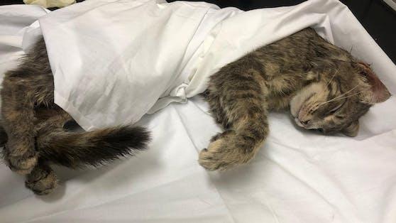 Der irre Katzenhäuter hatte dieser jungen Fellnase schwere Verletzungen zugefügt, so dass sie eingeschläfert werden musste.