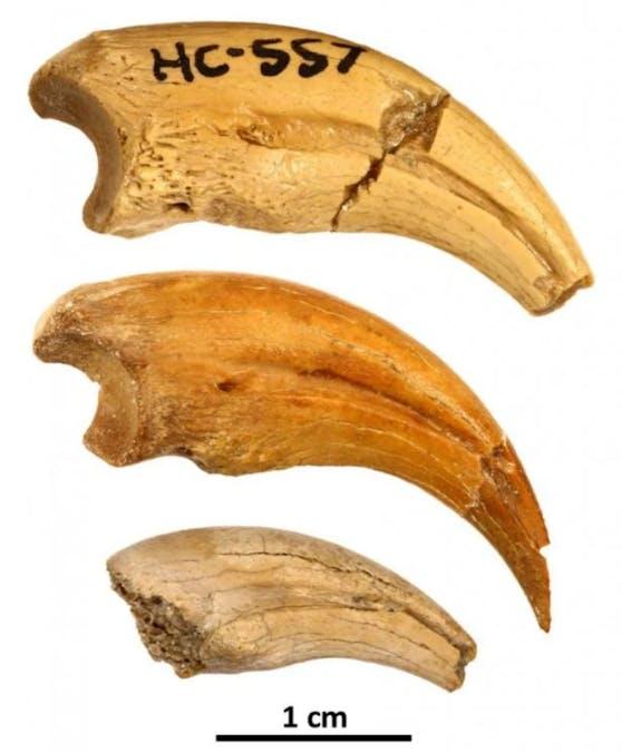 Die Klauenärmchen des T.prairiensis