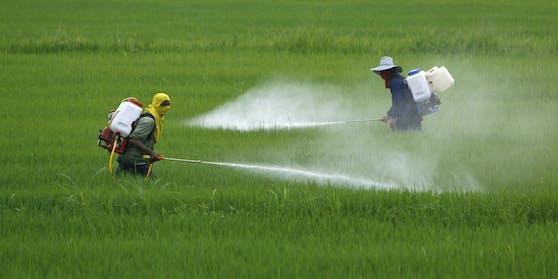Reisbauern in Thailand besprühen ihre Felder mit Pestizid. (Symbolbild)
