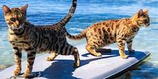 Wasserscheu? Diese Miezen surfen für ihr Leben gern