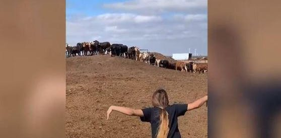 TikTok-User erschrecken Kühe.