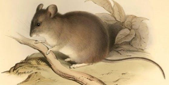 Phyllotis xanthopygus rupestris kommt hauptsächlich in den Anden vor.