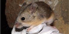 Diese Maus lebt, wo allen anderen die Luft ausgeht