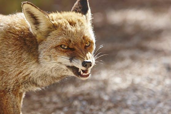 Ein Fuchs kam ins Hotelzimmer und biss zu.
