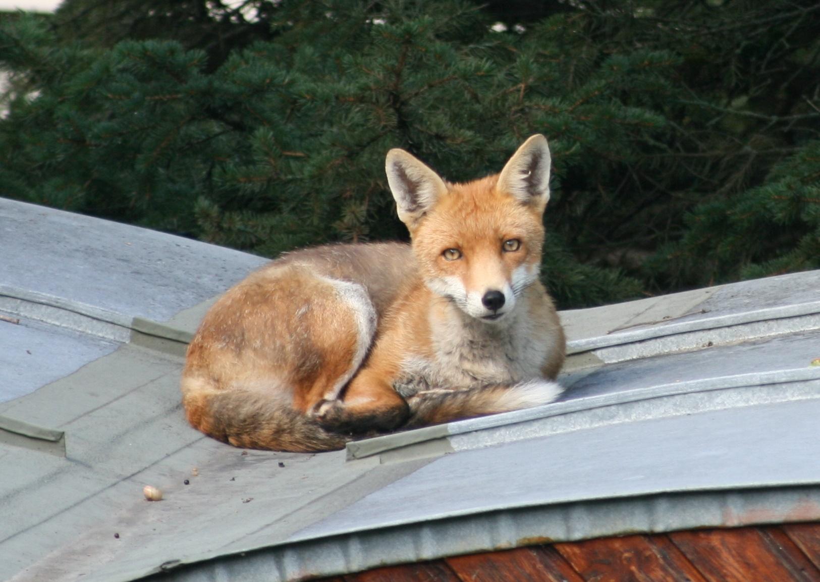 Friedlicher Fuchs mützt täglich auf diesem Gartenhaus