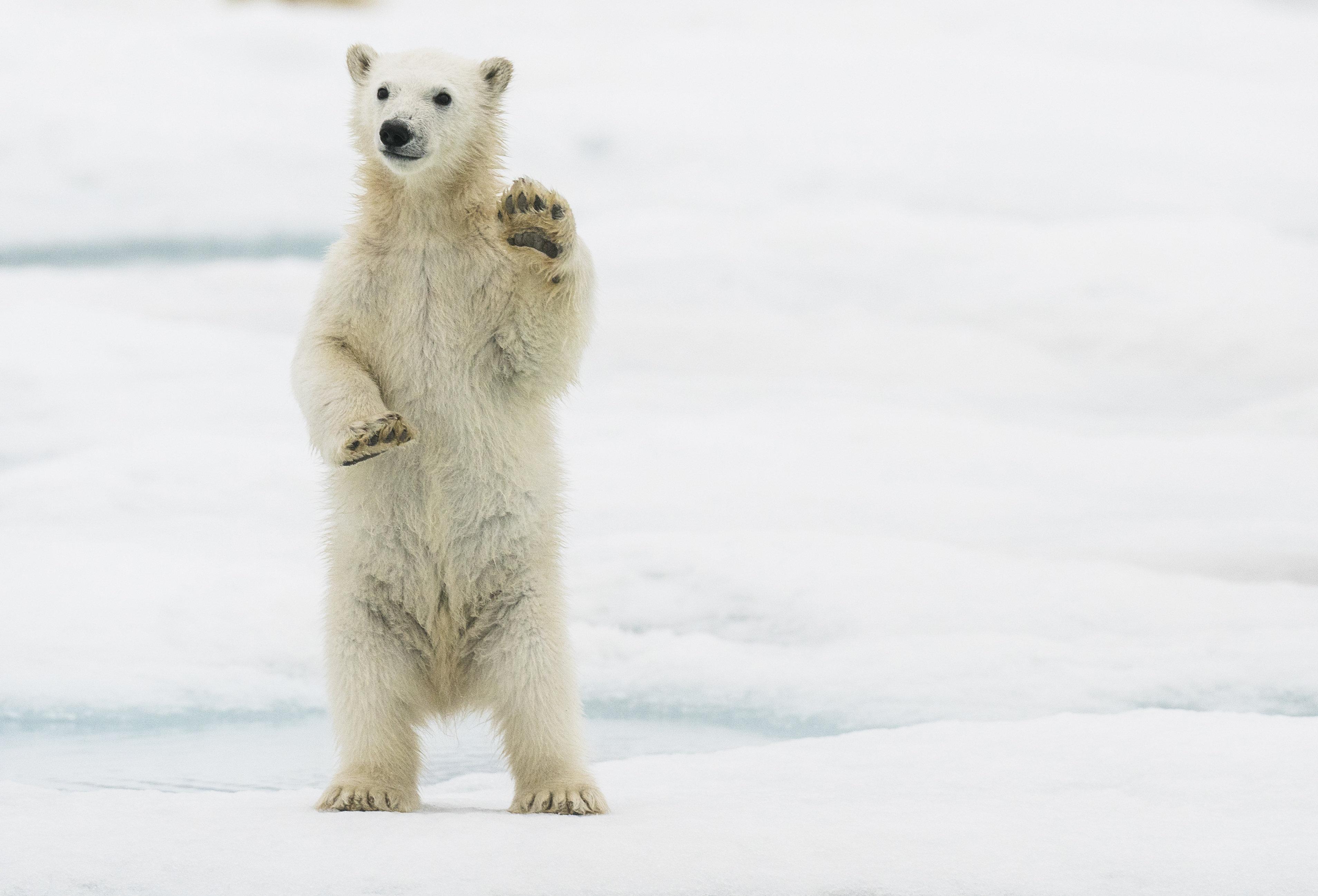 Klimawandel: Eisbären sterben in 80 Jahren aus