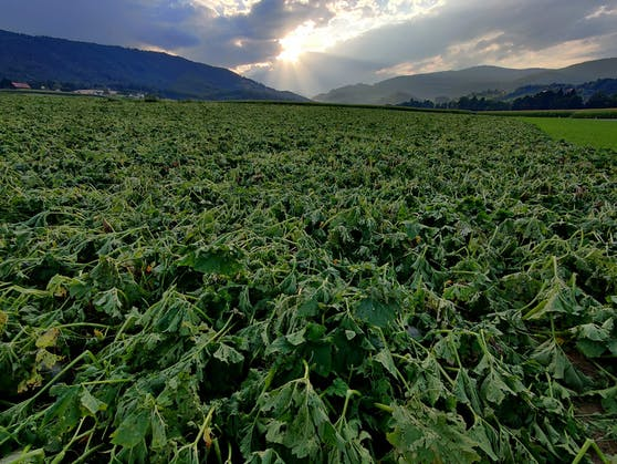 Hagel-Schäden in der Landwirtschaft.