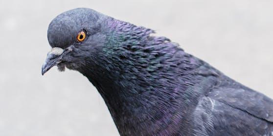 Diese Taube ist es einfach leid, eine Taube zu sein.
