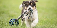 Zwei Hunde in Japan positiv auf Coronavirus