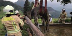 Kuh entgeht dank Feuerwehr dem Jauche-Tod