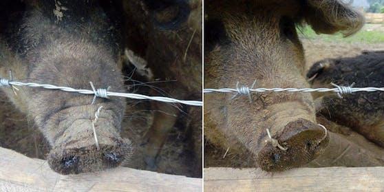 Den Schweinen wurde Stacheldraht durch die Nase gezogen.