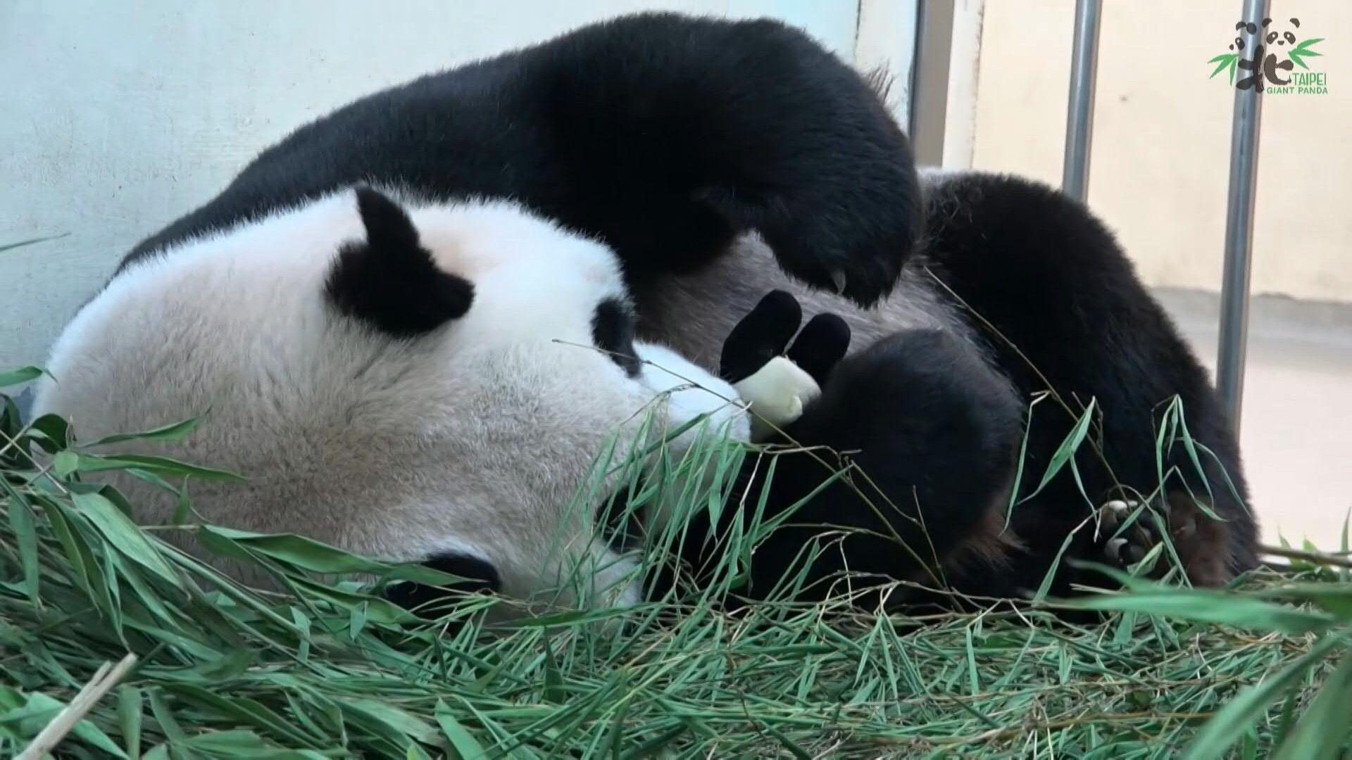 Baby krank, Panda-Mama kuschelt nur mit Stofftier