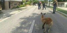 Ausgebüxtes Känguru sorgt in Florida für Unruhe