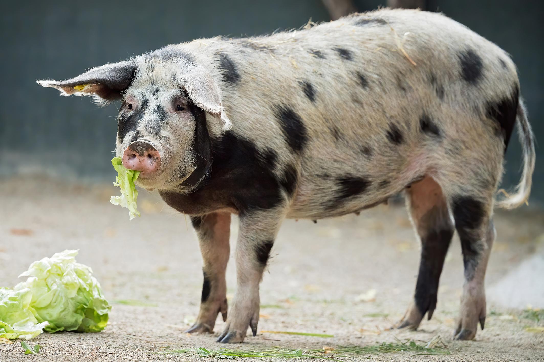 Seltene Schweine-Art kehrt nach 25 Jahren in Zoo zurück