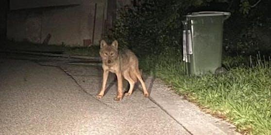 Wolf in Wöllersdorf - Brand-Laabens
