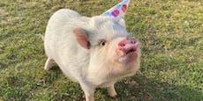 Schweine können Probleme besser lösen als Hunde