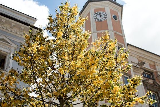 Bilder vom Montag zeigen die gelbe Verfärbung der Bäume am Linzer Hauptplatz.