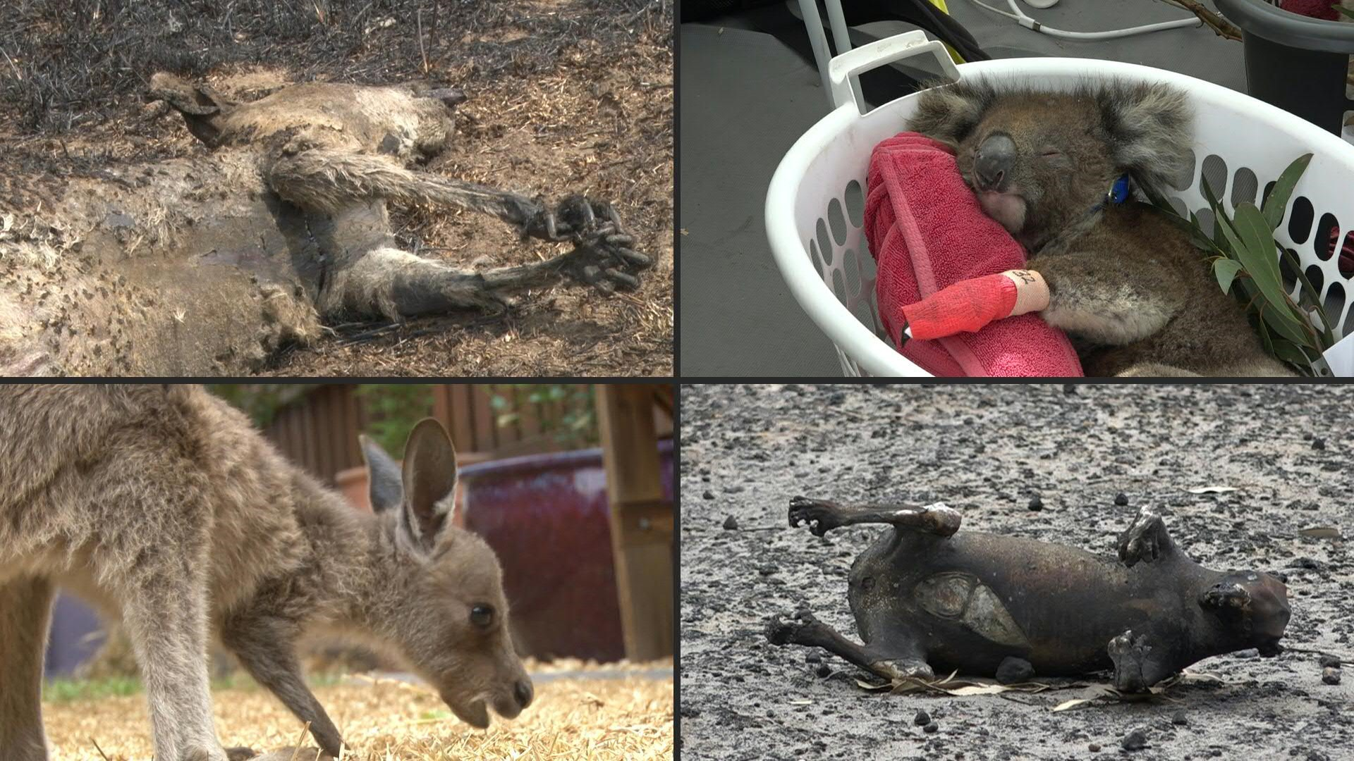 In Australiens Buschfeuern starben 3 Milliarden Tiere