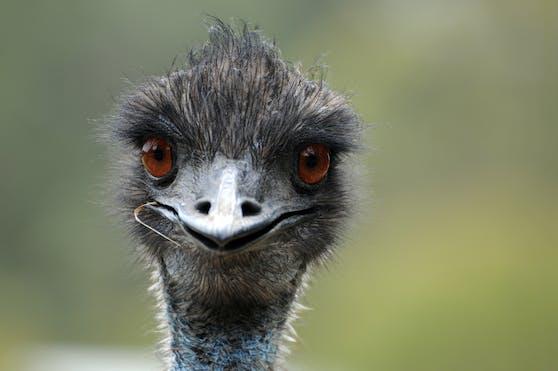 Emus verhielten sich in einem australischen Lokal derart unsittlich, dass sie nun ausgeschlossen sind.