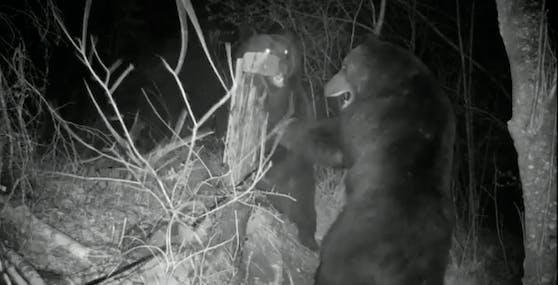 Spektakulärer Revierkampf zwischen zwei Braunbären an der chinesisch-russischen Grenze