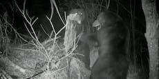 Braunbär verteidigt russische Grenze gegen Eindringling