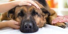 Erster Hund mit bestätigter Corona-Infektion ist tot