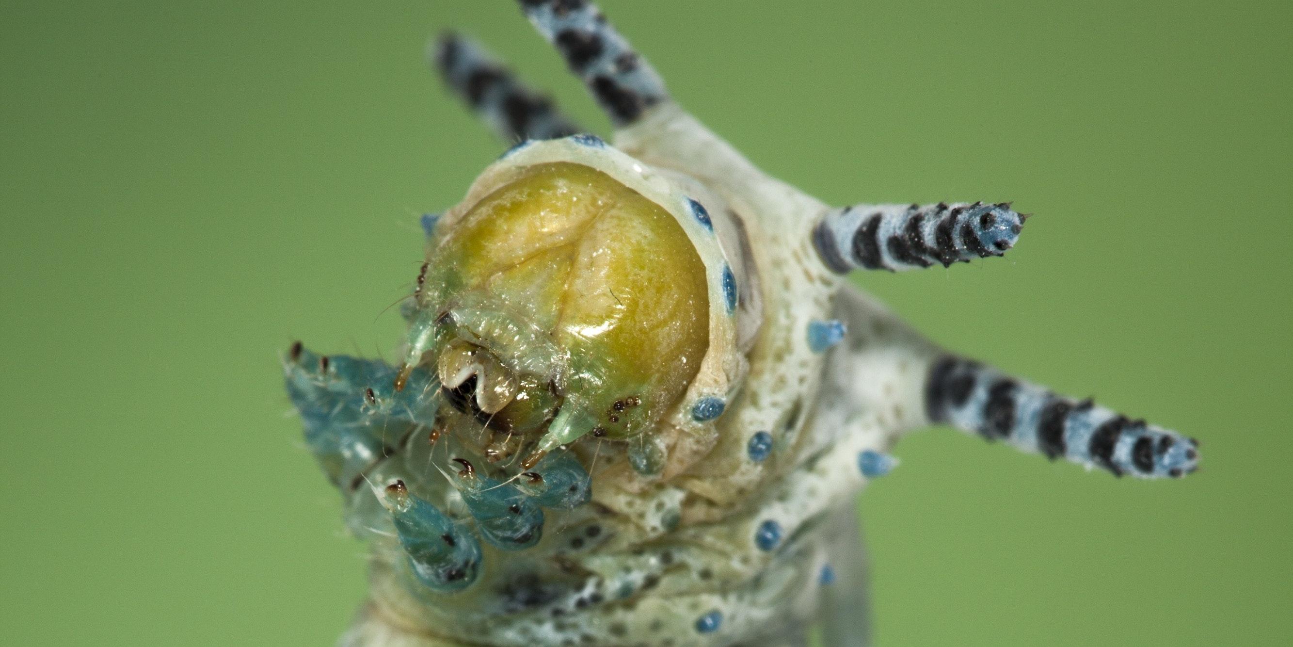 Wunderschön! Die spektakulärsten Raupen der Welt