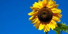 Kurios: Sonnenblume wird 7 Meter groß