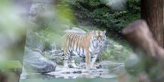 "Tiger tötet Pflegerin: ""Tier folgte seinem Instinkt"""