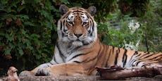 Pflegerin getötet: Das passiert jetzt mit dem Tiger