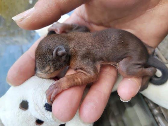 """Eichkätzchen-Baby """"Gustl"""" wird von der Tierrettung aufgepäppelt."""