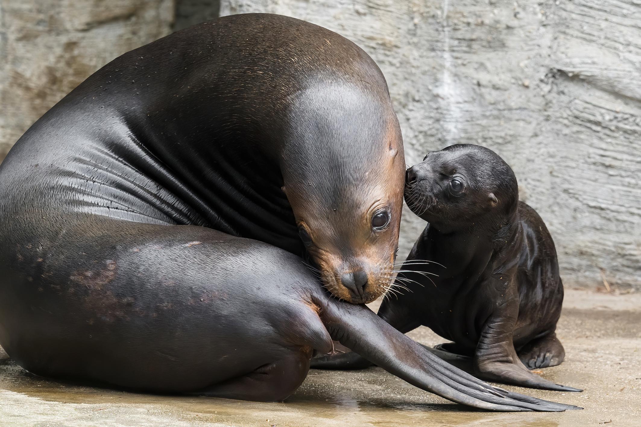 So süß ist das neue Robbenbaby in Schönbrunn