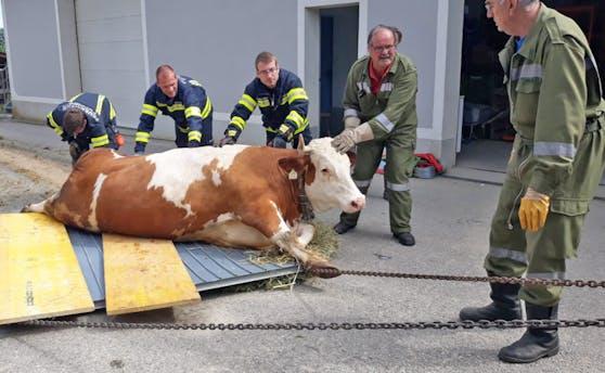 Erst mit dem Kran leicht angehoben und dann auf einem Garagentor abgesetzt. Der Traktor zog die Kuh dann in die schattige Wiese. So gelang die Geburtshilfe für eine hochträchtige Kuh in Pupping (Bez. Eferding).
