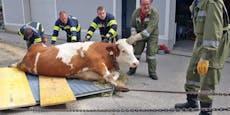 Trächtige 700-kg-Kuh mit Kran und Tor gerettet