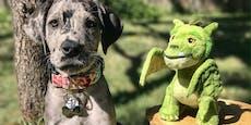 Stofftier begleitet Dogge Elliot seit sie ein Welpe war