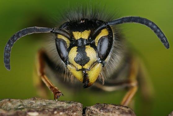 Großaufnahme der Gemeinen Wespe (Vespula vulgaris)