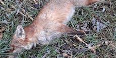 Polizei jagt Fuchshäuter in der Steiermark