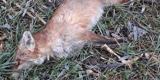 Zwei Füchse sind in der Steiermark getötet und gehäutet worden.