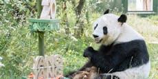 Alles Gute, Yang Yang! Panda-Dame ist 20