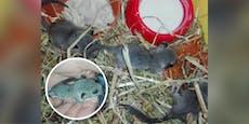 Mama tot! Siebenschläfer-Babys fast verhungert