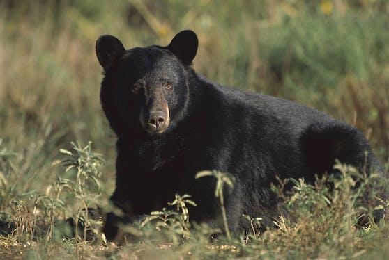 Ein Amerikanischer Schwarzbär (Ursus americanus). (Symbolbild)