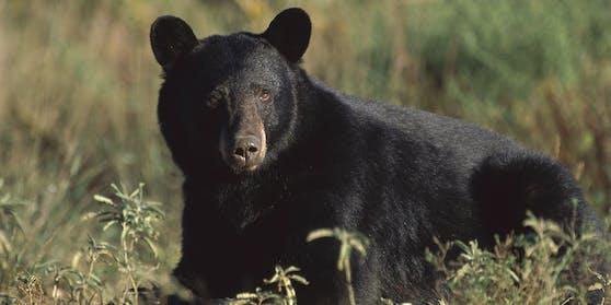 Ein Amerikanischer Schwarzbär (Ursus americanus). Symbolbild
