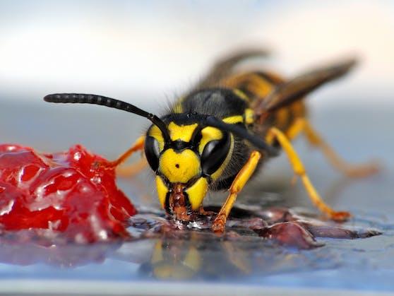 Wespen werden alljährlich im August zu Plage.