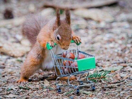 Definitiv kein Hamsterkauf: Mühsam nährt sich das Eichhörnchen