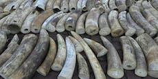 Singapur verbrennt tonnenweise illegales Elfenbein